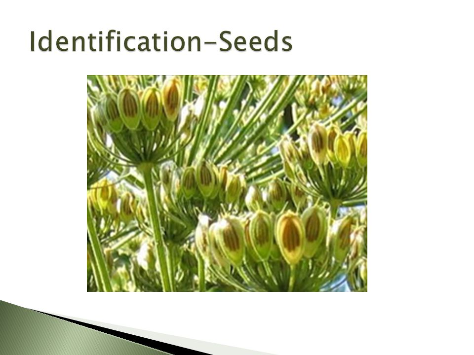 http://plants.usda.gov/java/profile?symbol=HEMA17  Range: ◦ Canada ◦ America ◦ Britain ◦ France ◦ Germany ◦ Belgium ◦ Asia