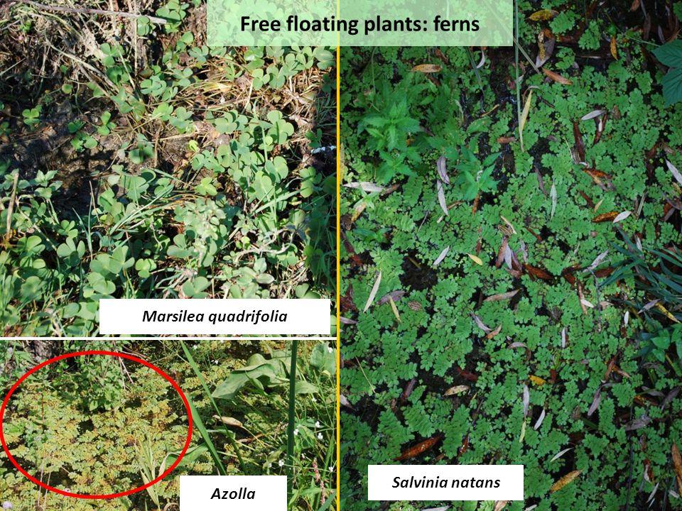 Azolla Marsilea quadrifolia Salvinia natans Free floating plants: ferns