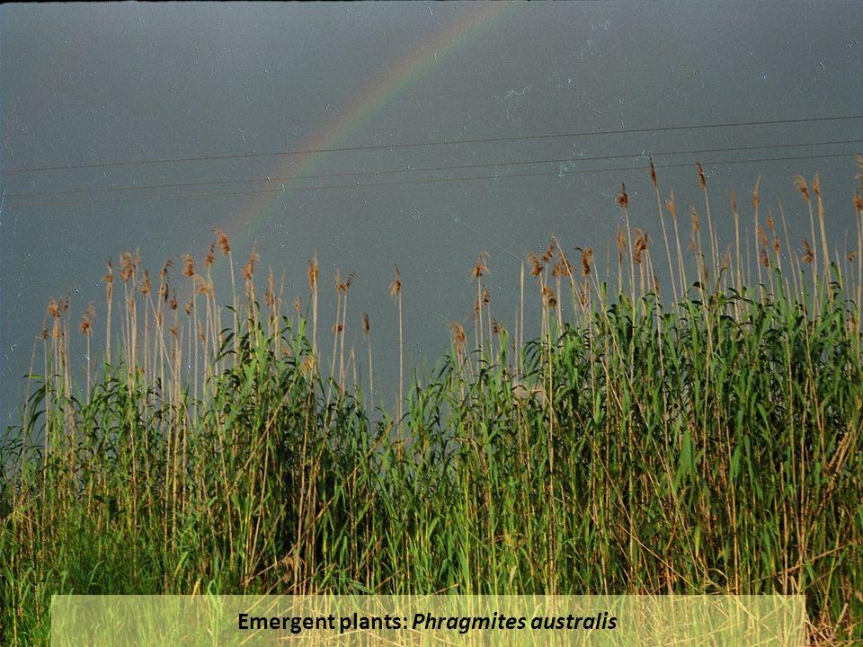 Emergent plants: Phragmites australis