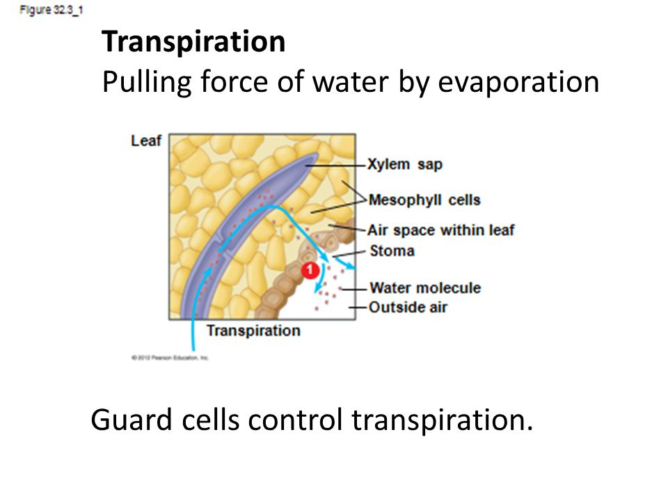 How Guard Cells Work A stoma opens when its guard cells gain K + ions and water by osmosis The water vacuoles become turgid and the guard cells become bowed (inner membrane is thicker) as they fill and open the stoma