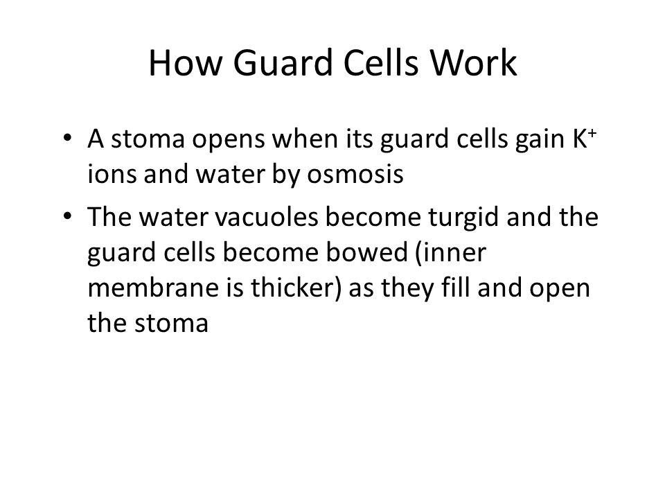 How the Guard Cells Work (2) When the guard cells lose K+, they also lose water by osmosis The water vacuoles become flaccid and less bowed The stomata close
