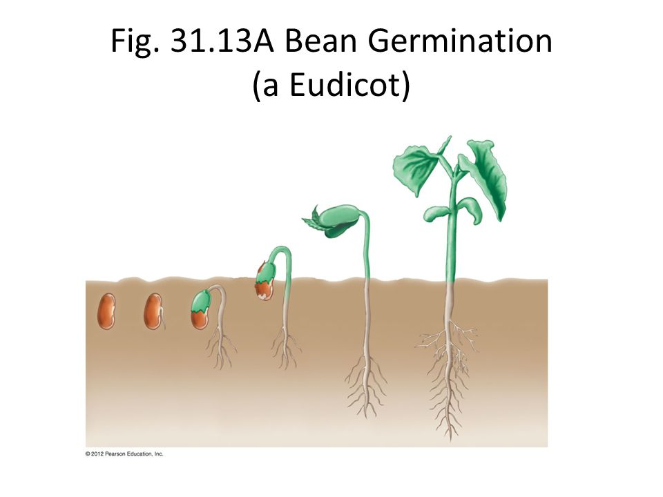 Fig. 31.13A Bean Germination (a Eudicot)