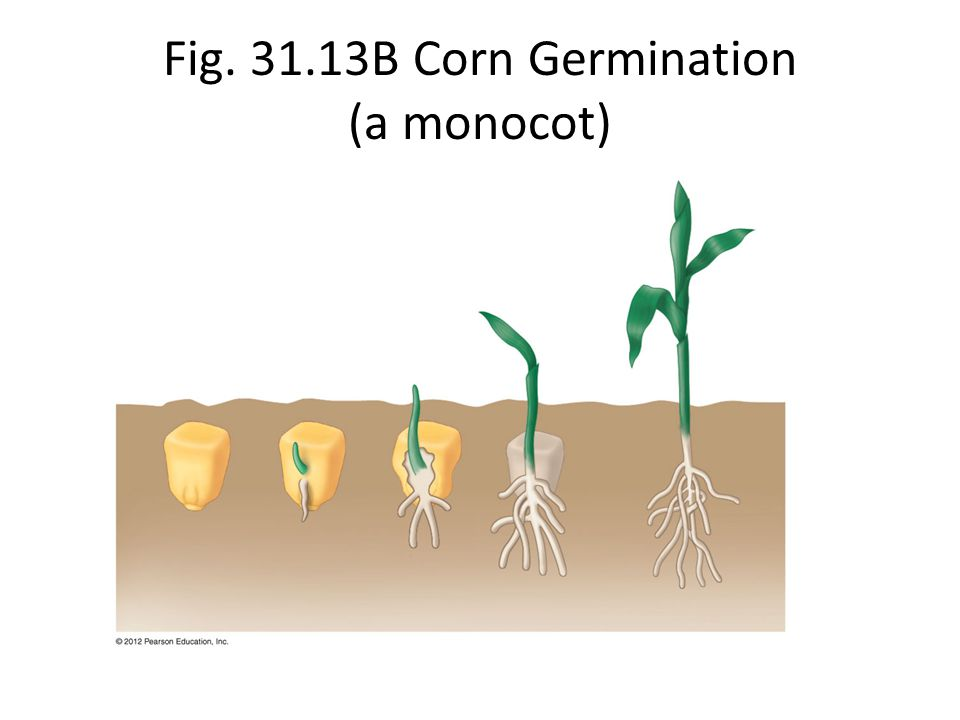 Fig. 31.13B Corn Germination (a monocot)