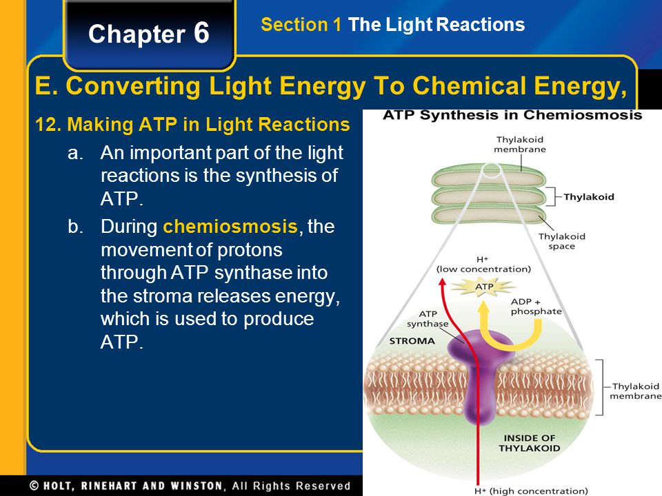 Section 1 The Light Reactions Chapter 6 E. Converting Light Energy To Chemical Energy, 12. Making ATP in Light Reactions a.An important part of the li