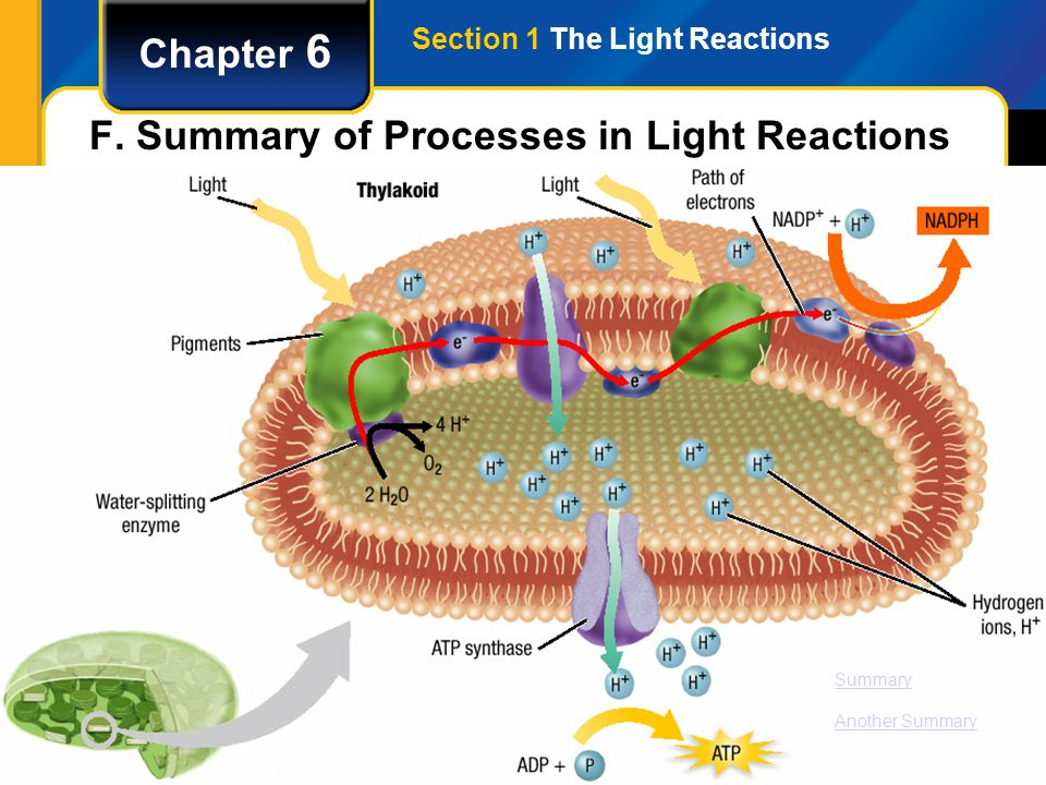 Section 1 The Light Reactions Chapter 6 F. Summary of Processes in Light Reactions Summary Another Summary