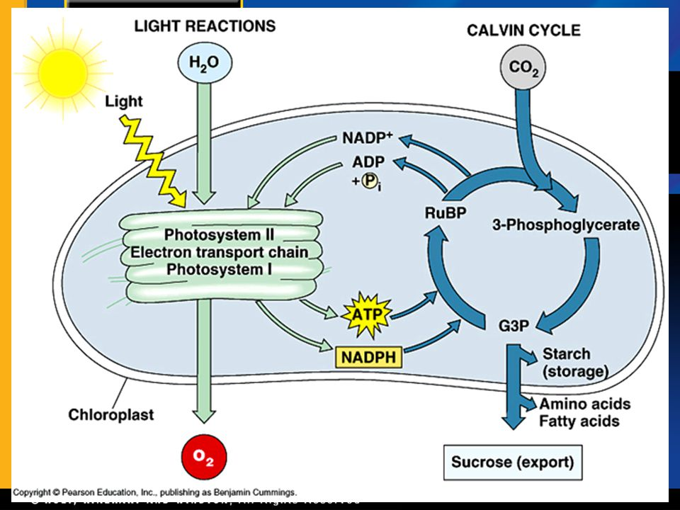 Section 1 The Light Reactions Chapter 6 B.Overview of Photosynthesis, continued 4.