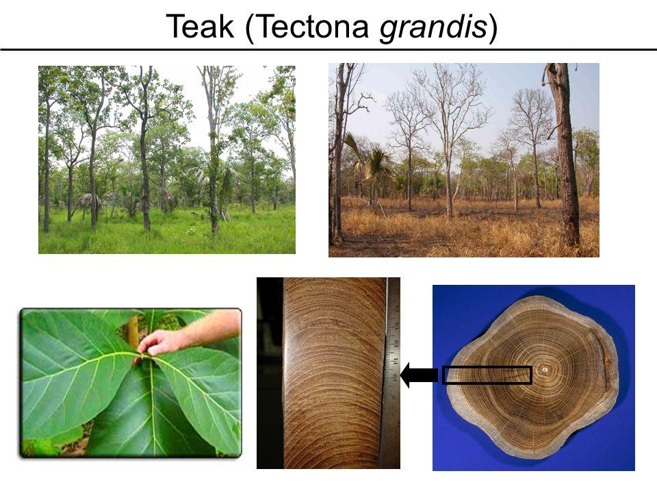 Teak (Tectona grandis)