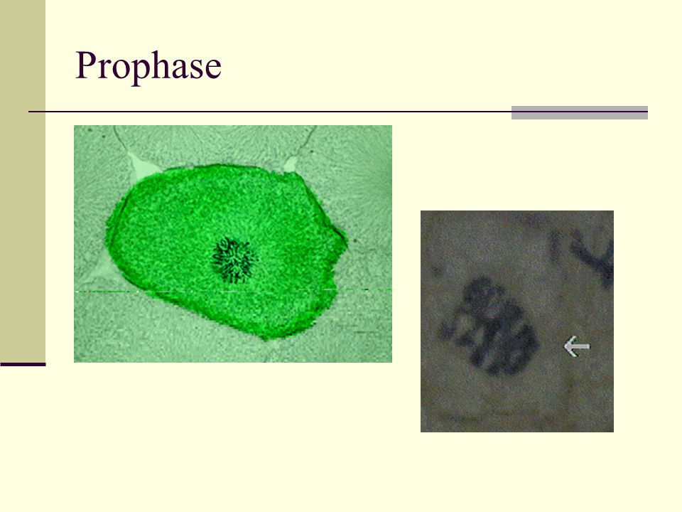 2.Following fertilization cell division begins and a new organism develops 3.