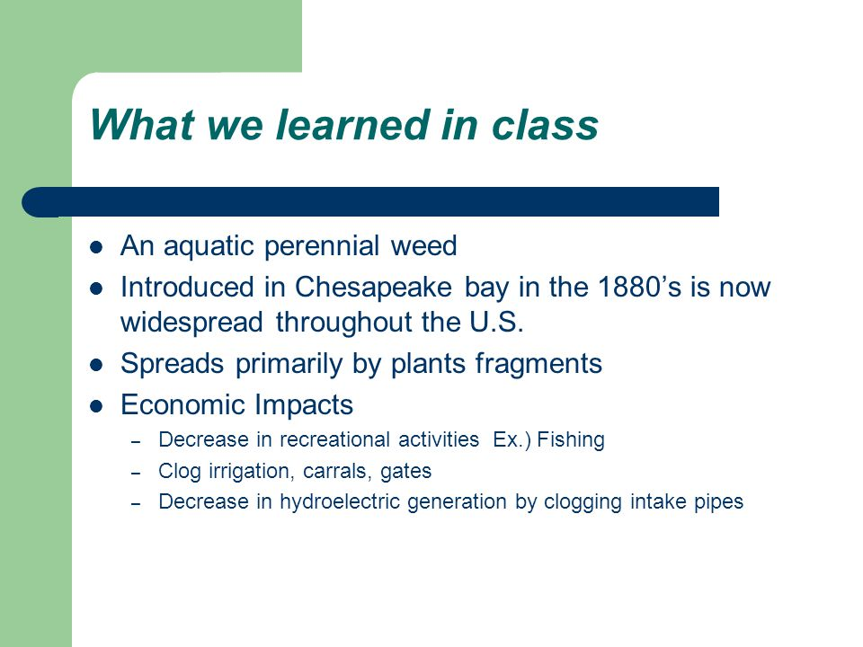 What we learned in class An aquatic perennial weed Introduced in Chesapeake bay in the 1880's is now widespread throughout the U.S.