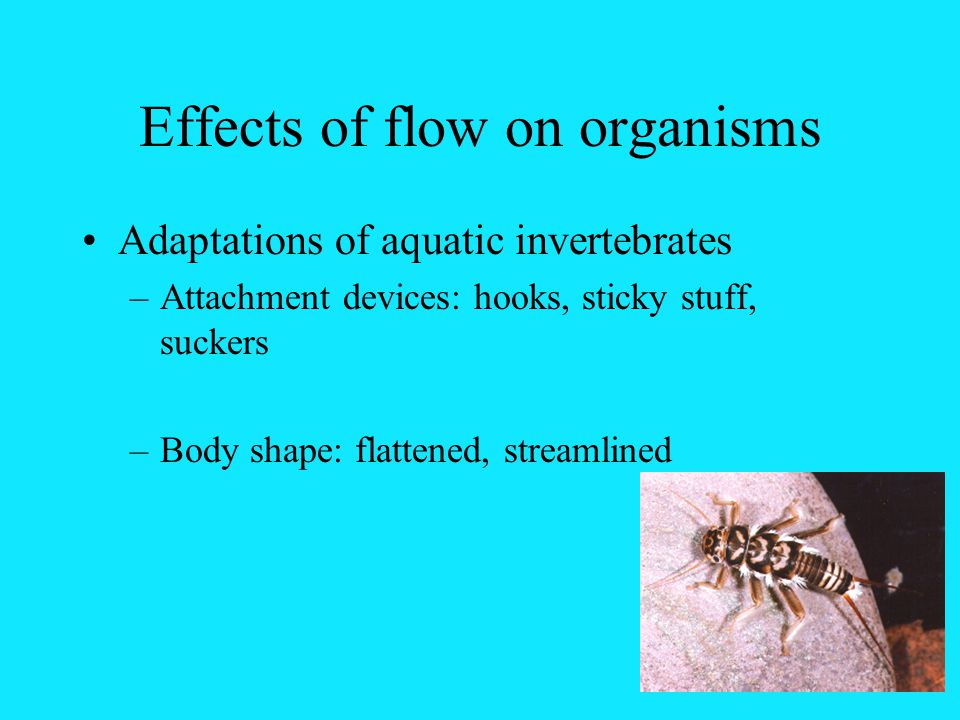 Effects of flow on organisms Adaptations of aquatic invertebrates –Attachment devices: hooks, sticky stuff, suckers –Body shape: flattened, streamlined
