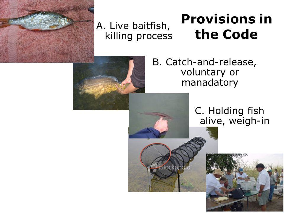 Provisions in the Code B. Catch-and-release, voluntary or manadatory A. Live baitfish, killing process C. Holding fish alive, weigh-in