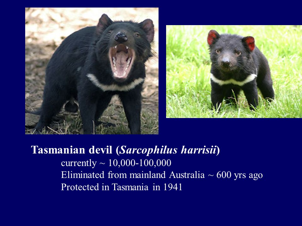 Tasmanian devil (Sarcophilus harrisii) currently ~ 10,000-100,000 Eliminated from mainland Australia ~ 600 yrs ago Protected in Tasmania in 1941