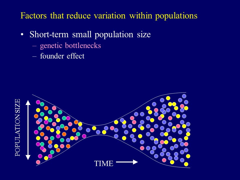 Factors that reduce variation within populations Short-term small population size –genetic bottlenecks –founder effect TIME POPULATION SIZE