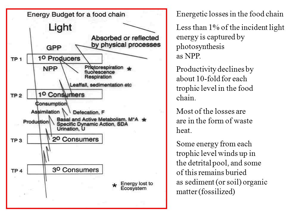 Energetic losses in the food chain Less than 1% of the incident light energy is captured by photosynthesis as NPP.