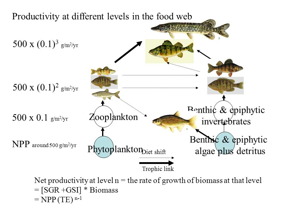 Phytoplankton Zooplankton Benthic & epiphytic algae plus detritus Benthic & epiphytic invertebrates Diet shift Trophic link Net productivity at level n = the rate of growth of biomass at that level = [SGR +GSI] * Biomass = NPP (TE) n-1 Productivity at different levels in the food web NPP around 500 g/m 2 /yr 500 x 0.1 g/m 2 /yr 500 x (0.1) 2 g/m 2 /yr 500 x (0.1) 3 g/m 2 /yr
