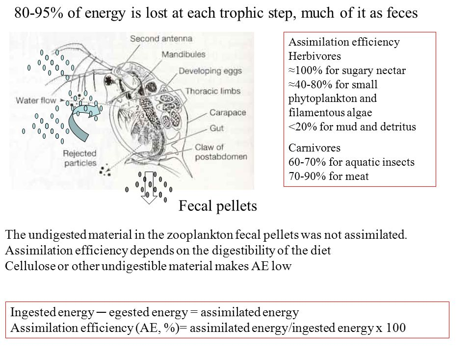 The standing stock of energy in the plankton is low but it is turned over rapidly, because the organisms are small, grow rapidly and don't live long A P H1H1 H2H2 Residence time and turnover of energy by trophic levels Turnover is slower at higher trophic levels, since larger organisms accumulate energy over a longer life span—longer residence time and slower turnover Planktonic Herbivore (50  g) life span 1 month Benthic Detritivore (0.1 g) life span 1yr Phytoplankton (0.01  g, life span, few days Carnivorous fish (100g) life span 5-10 yr