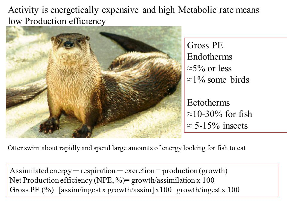 Activity is energetically expensive and high Metabolic rate means low Production efficiency Assimilated energy ─ respiration ─ excretion = production (growth) Net Production efficiency (NPE, %)= growth/assimilation x 100 Gross PE (%)=[assim/ingest x growth/assim] x100=growth/ingest x 100 Gross PE Endotherms ≈5% or less ≈1% some birds Ectotherms ≈10-30% for fish ≈ 5-15% insects Otter swim about rapidly and spend large amounts of energy looking for fish to eat