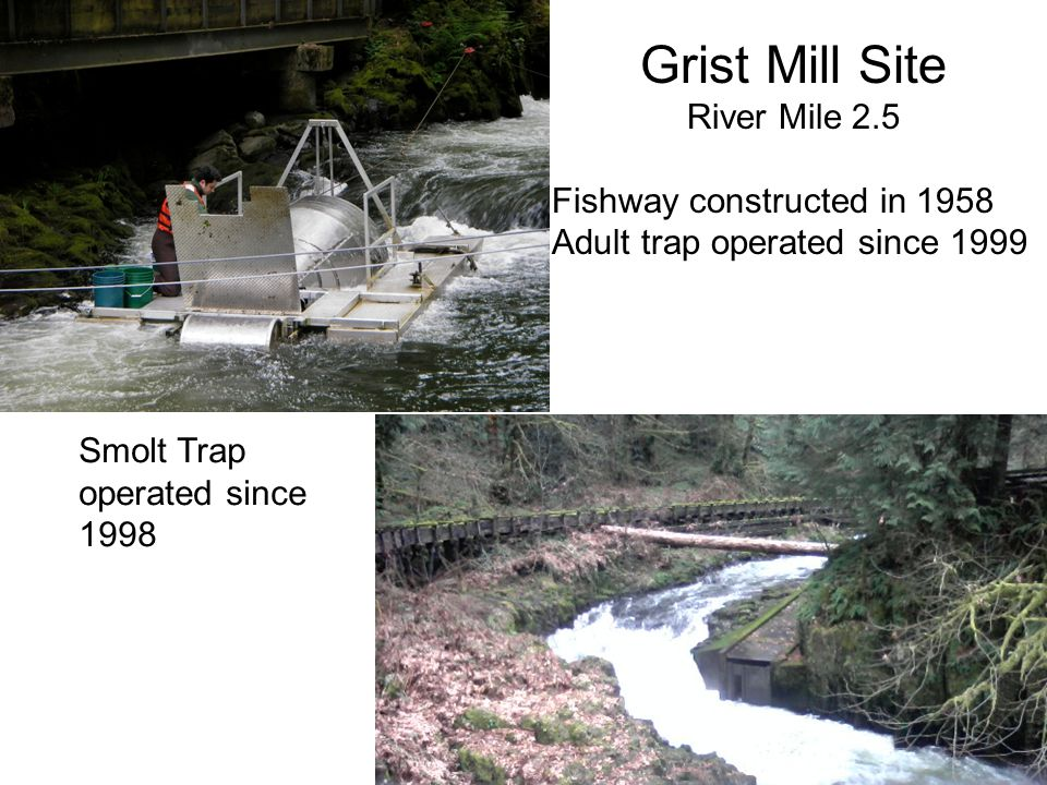 Grist Mill Site River Mile 2.5 Fishway constructed in 1958 Adult trap operated since 1999 Smolt Trap operated since 1998