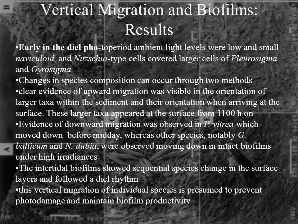 Vertical Migration and Biofilms: Results Early in the diel pho-toperiod ambient light levels were low and small naviculoid, and Nitzschia-type cells covered larger cells of Pleurosigma and Gyrosigma Changes in species composition can occur through two methods clear evidence of upward migration was visible in the orientation of larger taxa within the sediment and their orientation when arriving at the surface.