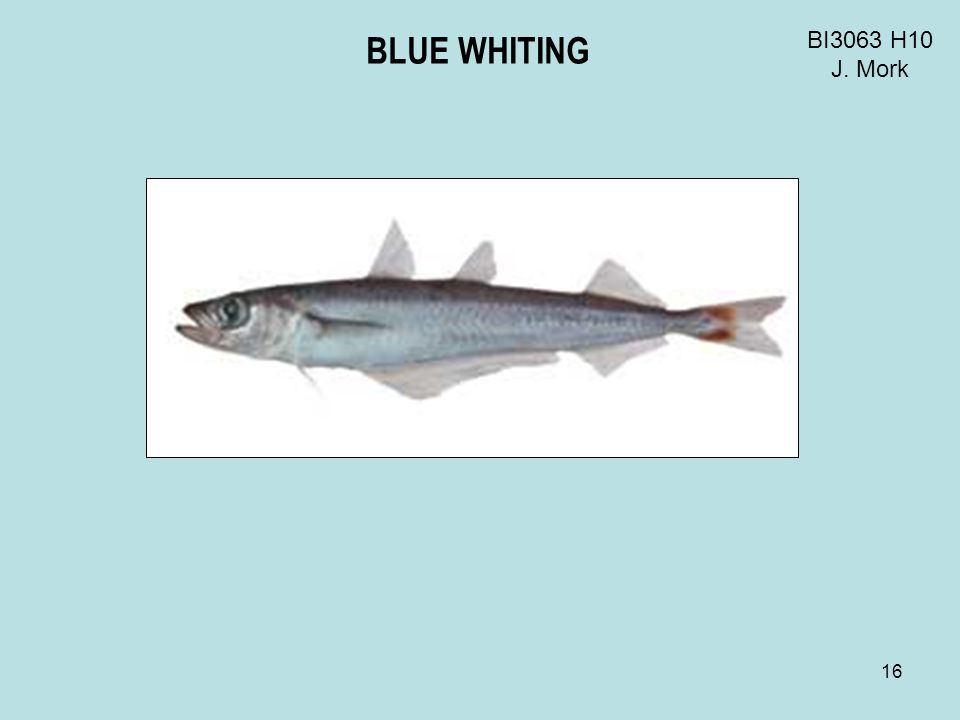 16 BI3063 H10 J. Mork BLUE WHITING