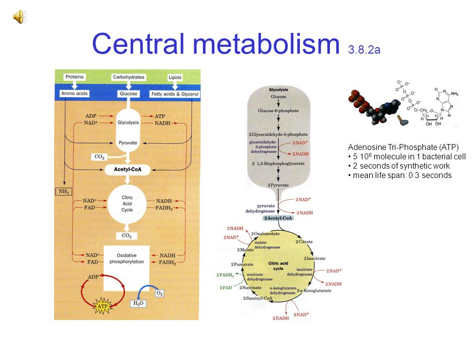 Central metabolism 3.8.2a Adenosine Tri-Phosphate (ATP) 5 10 6 molecule in 1 bacterial cell 2 seconds of synthetic work mean life span: 0.3 seconds