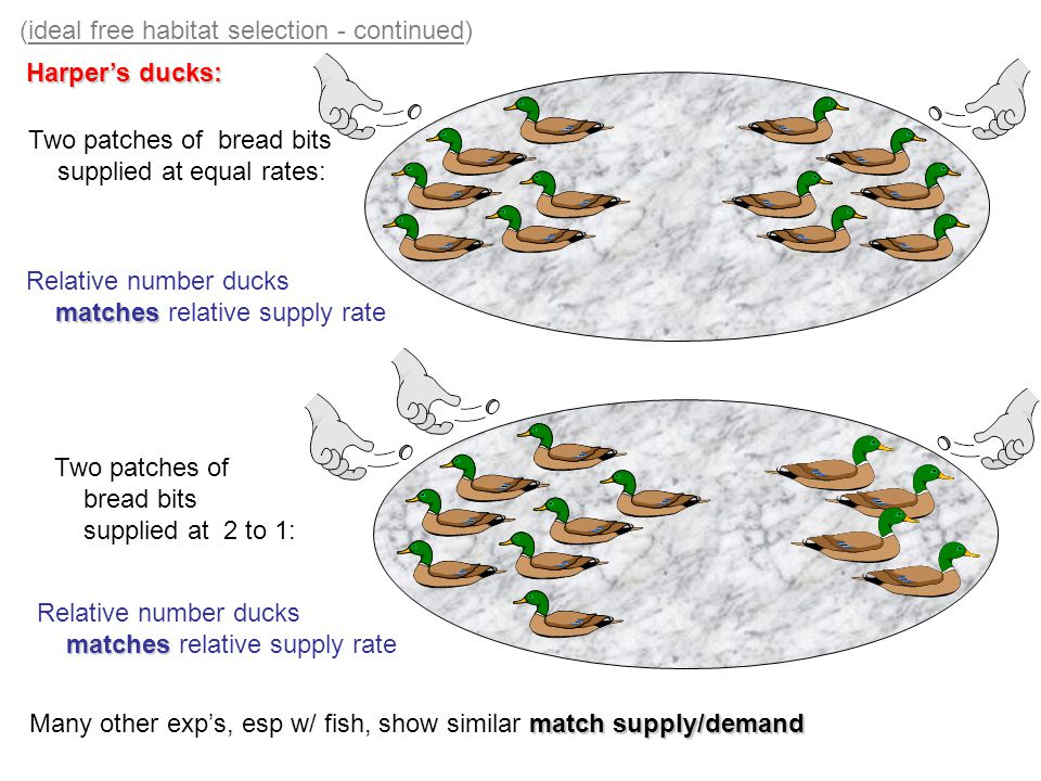(ideal free habitat selection - continued) Harper's ducks: Two patches of bread bits supplied at equal rates: Two patches of bread bits supplied at 2