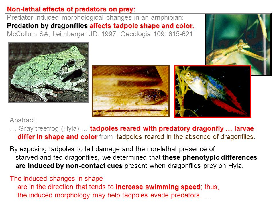 Non-lethal effects of predators on prey: Predator-induced morphological changes in an amphibian: Predation by dragonflies affects tadpole shape and color.