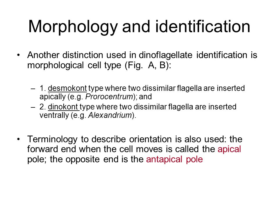 Morphology and identification Another distinction used in dinoflagellate identification is morphological cell type (Fig. A, B): –1. desmokont type whe