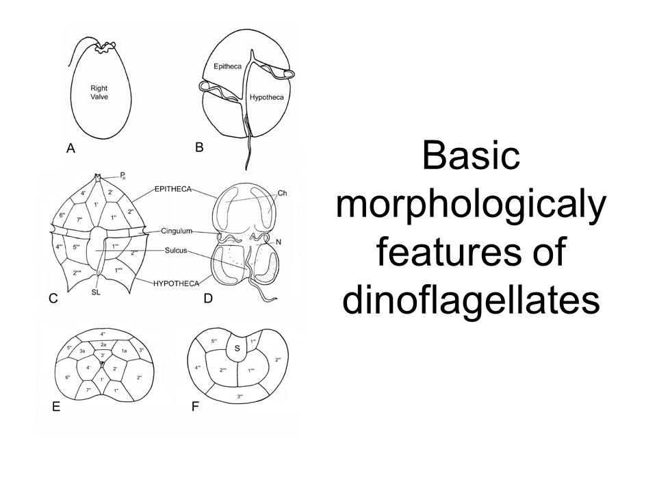 Basic morphologicaly features of dinoflagellates