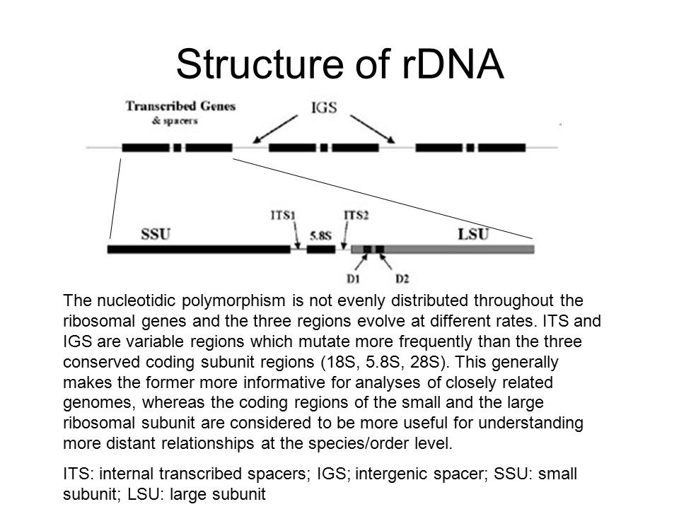 Structure of rDNA The nucleotidic polymorphism is not evenly distributed throughout the ribosomal genes and the three regions evolve at different rate