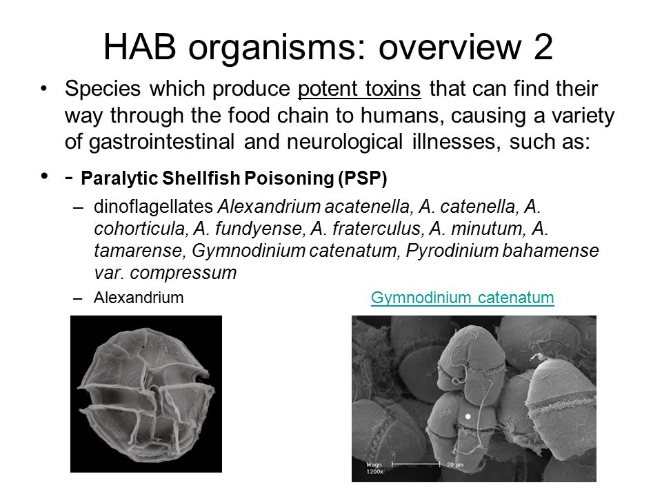HAB organisms: overview 2 Species which produce potent toxins that can find their way through the food chain to humans, causing a variety of gastroint