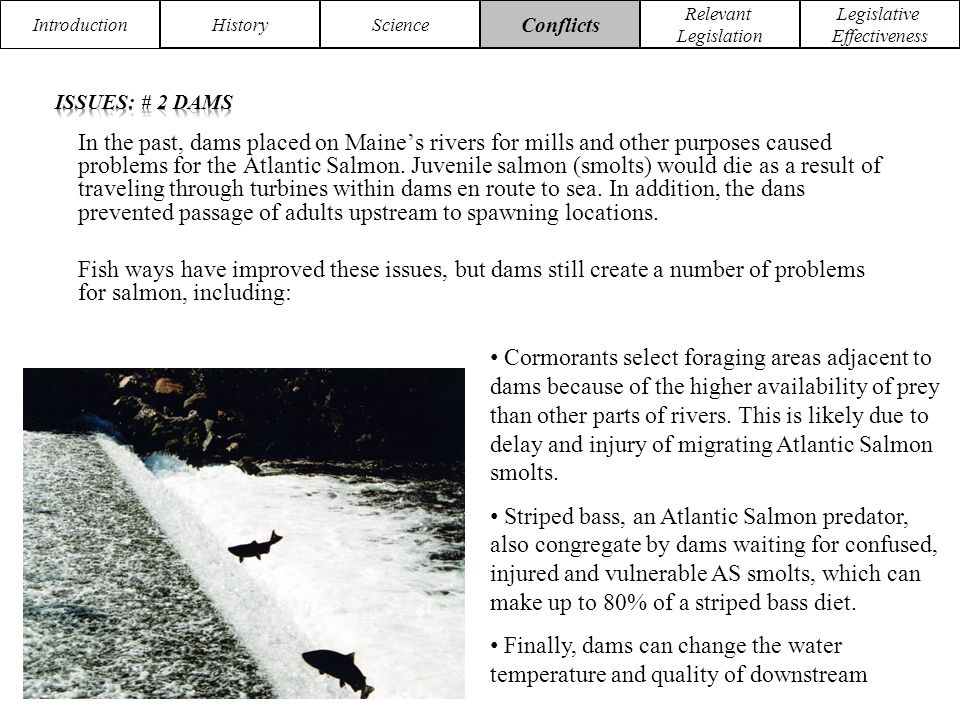 Introduction HistoryScience Conflicts Relevant Legislation Legislative Effectiveness In the past, dams placed on Maine's rivers for mills and other purposes caused problems for the Atlantic Salmon.