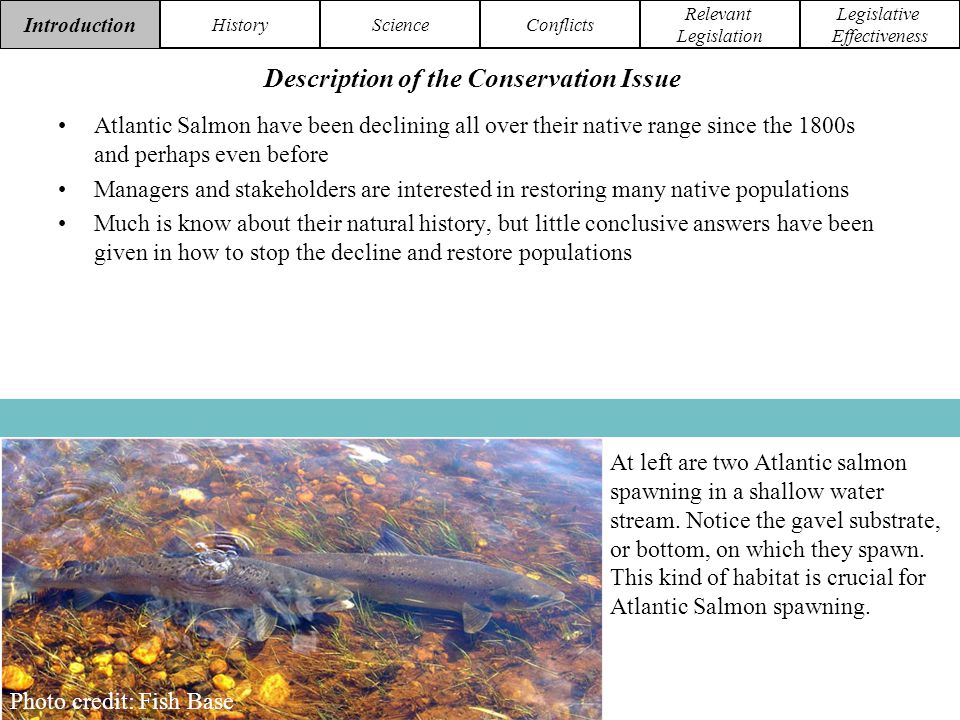 Introduction HistoryScienceConflicts Relevant Legislation Legislative Effectiveness The ESA not only protects Atlantic Salmon as a species, but also critical habitat of the species.