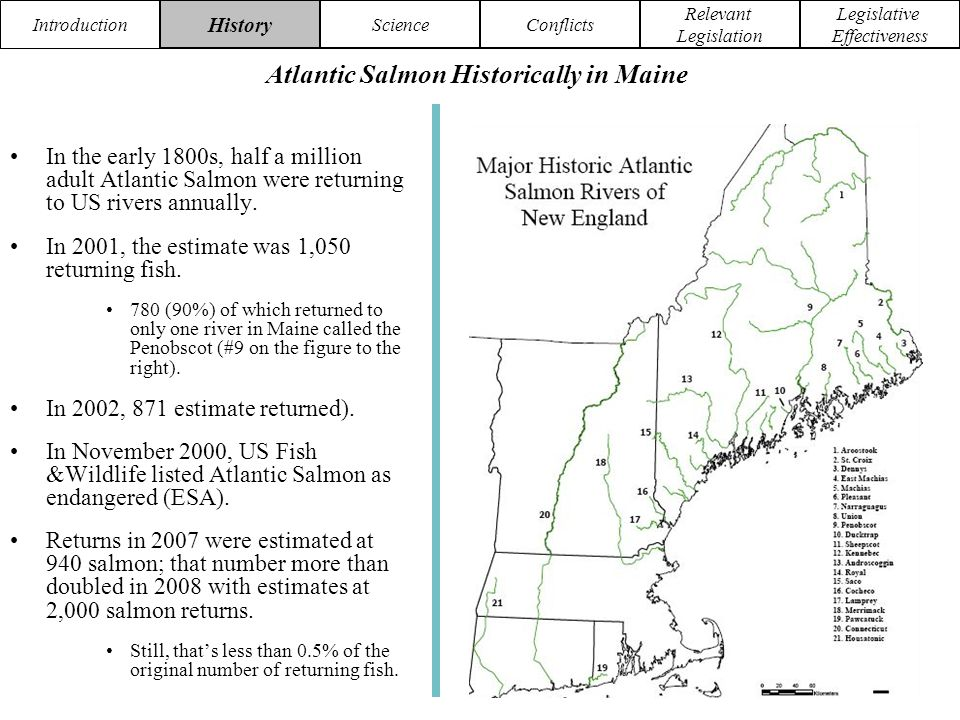 Introduction HistoryScience Conflicts Relevant Legislation Legislative Effectiveness Stocking in Maine began in 1870, and the first young obtained were from lake Ontario.