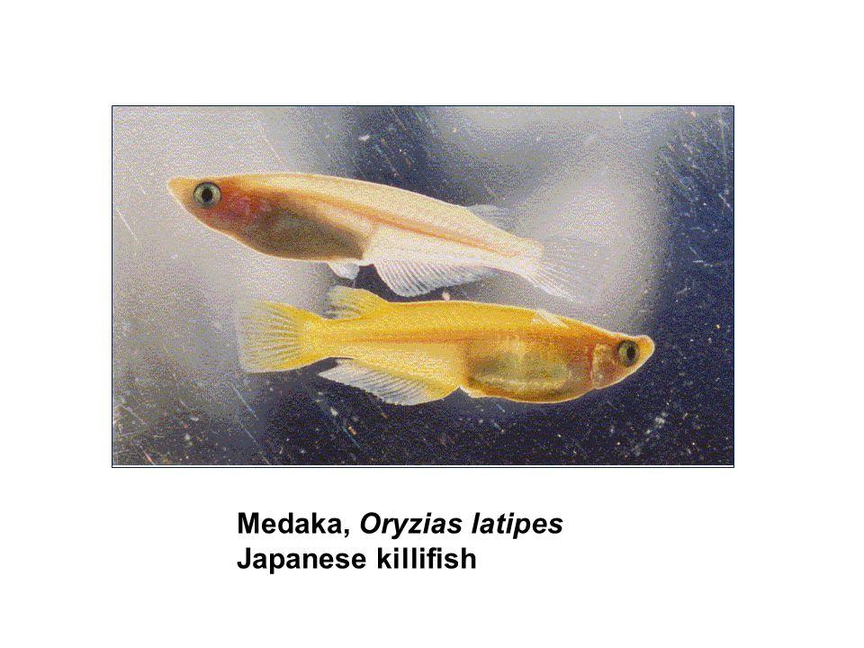 Medaka, Oryzias latipes Japanese killifish
