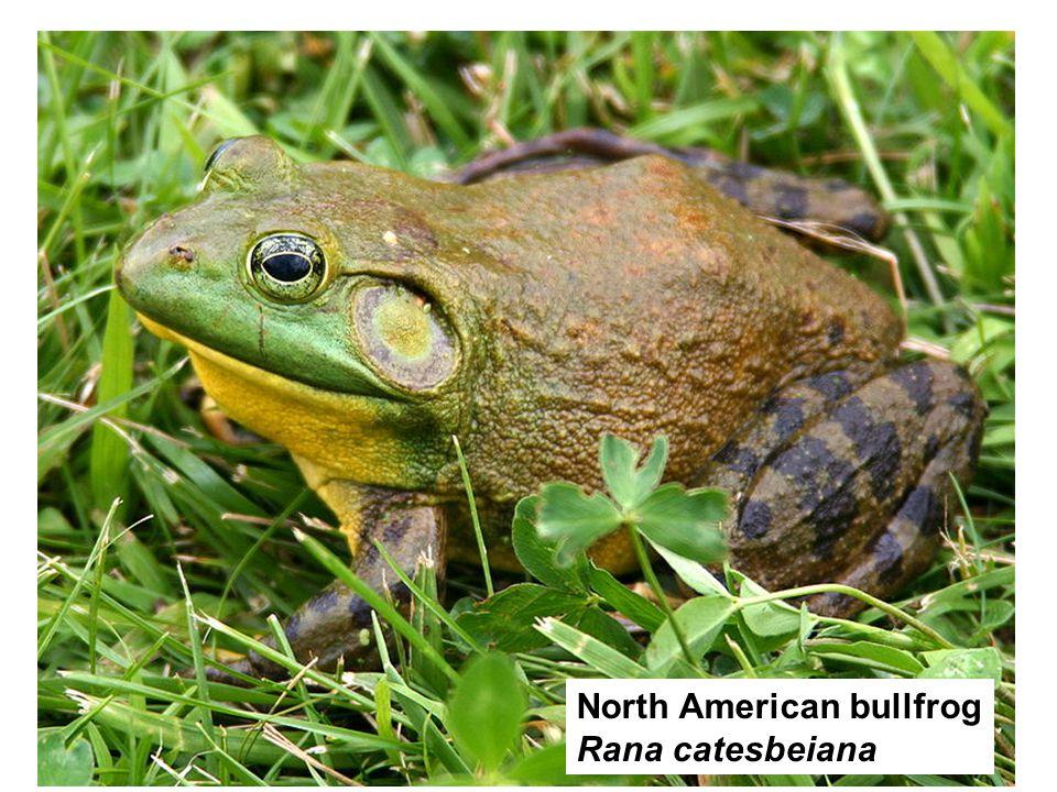 North American bullfrog Rana catesbeiana