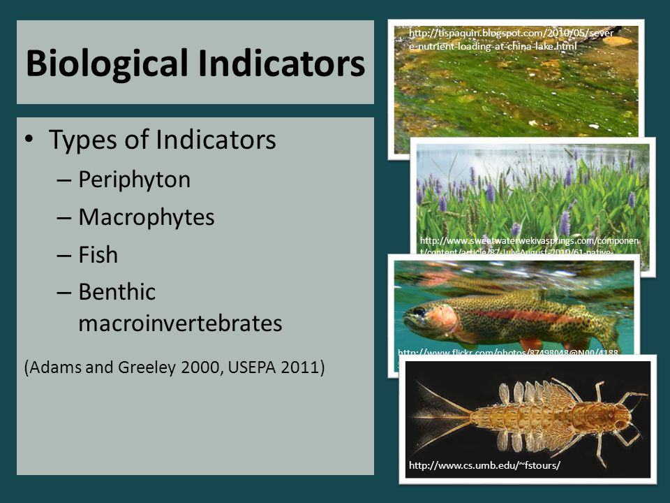 Biological Indicators Types of Indicators – Periphyton – Macrophytes – Fish – Benthic macroinvertebrates (Adams and Greeley 2000, USEPA 2011) http://tispaquin.blogspot.com/2010/05/sever e-nutrient-loading-at-china-lake.html http://www.sweetwaterwekivasprings.com/componen t/content/article/87-July-August-2010/61-native- aquatic-plants-plant-a-rainbow-along-your-shoreline http://www.flickr.com/photos/87498048@N00/4188 587349/ http://www.cs.umb.edu/~fstours/