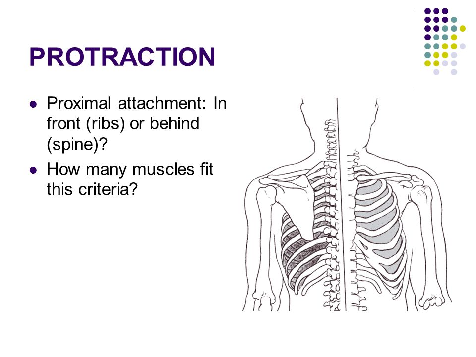 PROTRACTION Proximal attachment: In front (ribs) or behind (spine)? How many muscles fit this criteria?