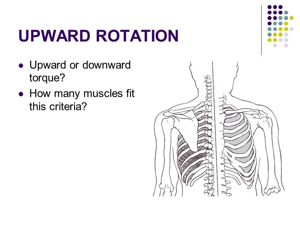 UPWARD ROTATION Upward or downward torque? How many muscles fit this criteria?