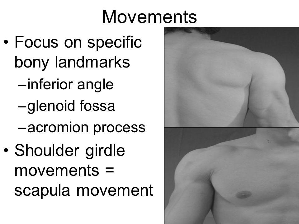Movements Focus on specific bony landmarks –inferior angle –glenoid fossa –acromion process Shoulder girdle movements = scapula movement