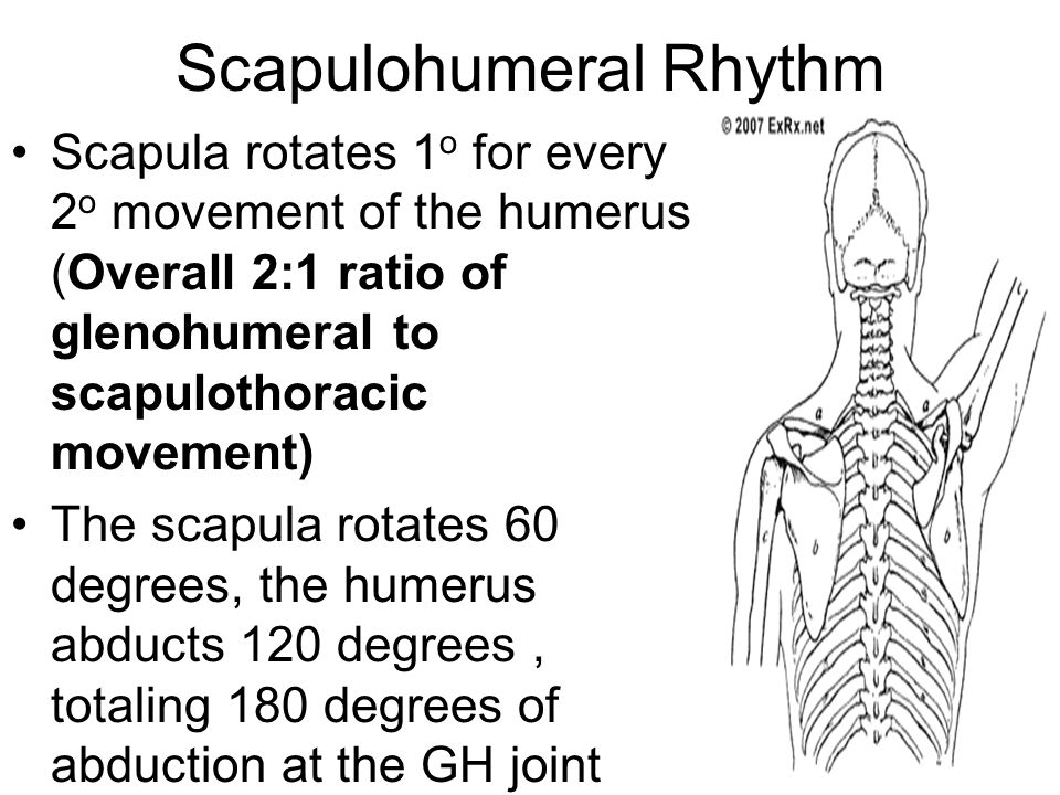 Scapulohumeral Rhythm Scapula rotates 1 o for every 2 o movement of the humerus (Overall 2:1 ratio of glenohumeral to scapulothoracic movement) The sc