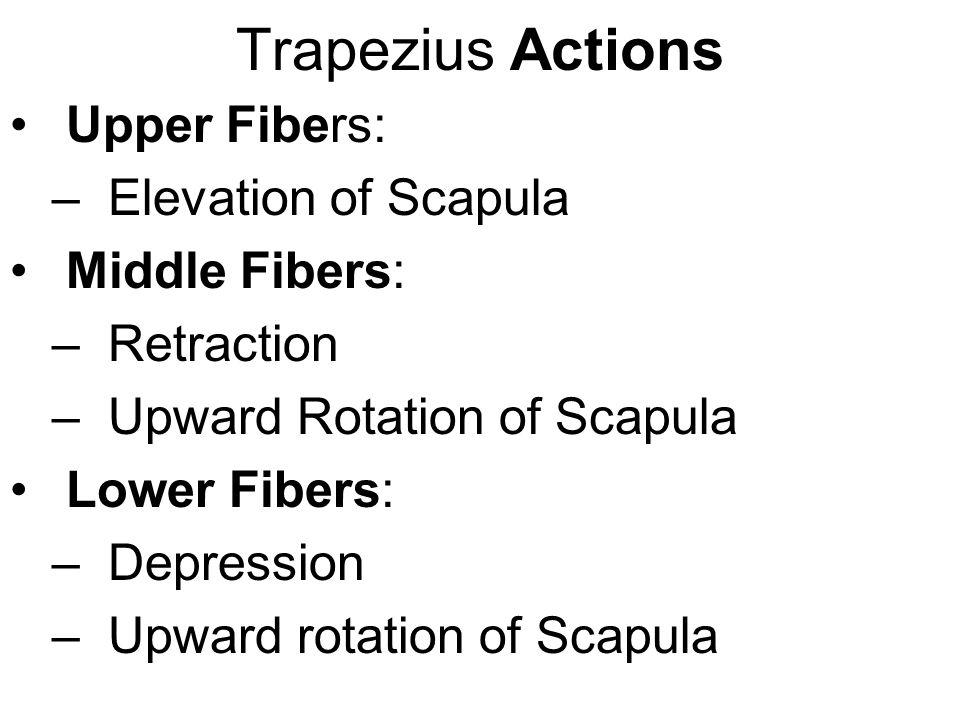 Trapezius Actions Upper Fibers: –Elevation of Scapula Middle Fibers: –Retraction –Upward Rotation of Scapula Lower Fibers: –Depression –Upward rotatio