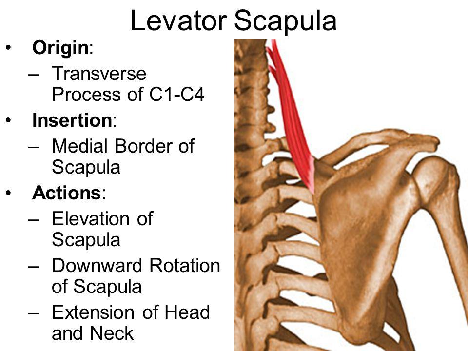 Levator Scapula Origin: –Transverse Process of C1-C4 Insertion: –Medial Border of Scapula Actions: –Elevation of Scapula –Downward Rotation of Scapula