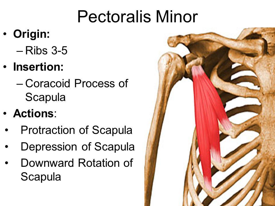 Pectoralis Minor Origin: –Ribs 3-5 Insertion: –Coracoid Process of Scapula Actions: Protraction of Scapula Depression of Scapula Downward Rotation of