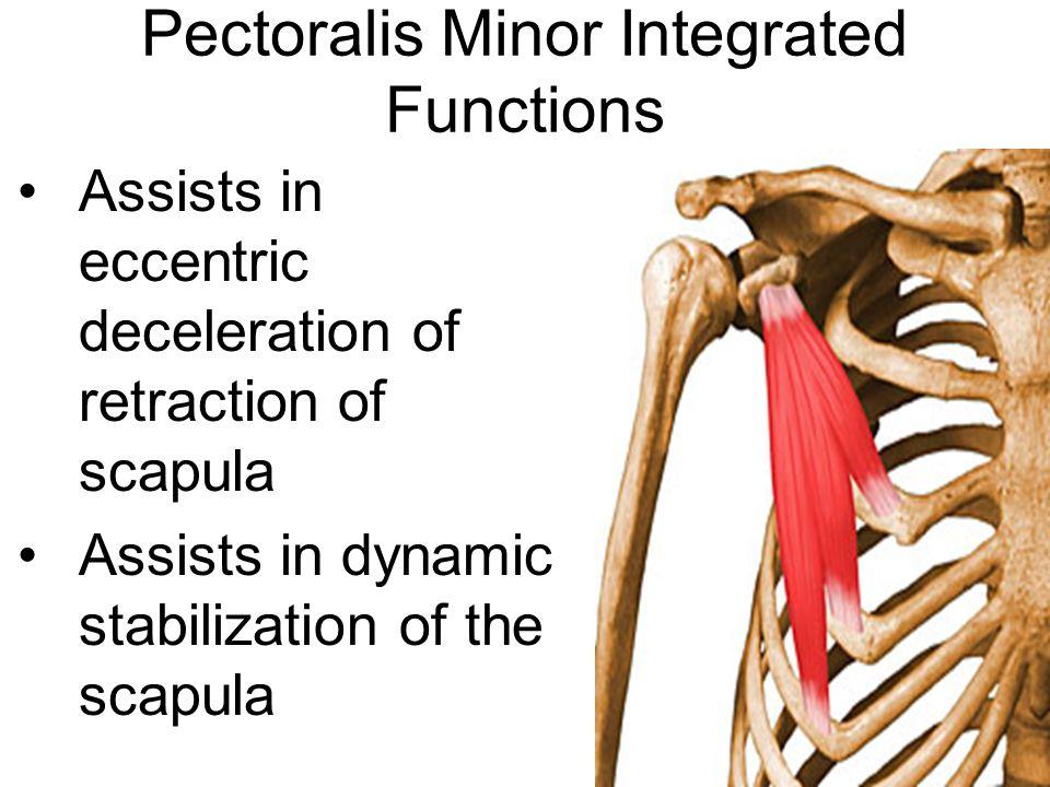 Pectoralis Minor Integrated Functions Assists in eccentric deceleration of retraction of scapula Assists in dynamic stabilization of the scapula