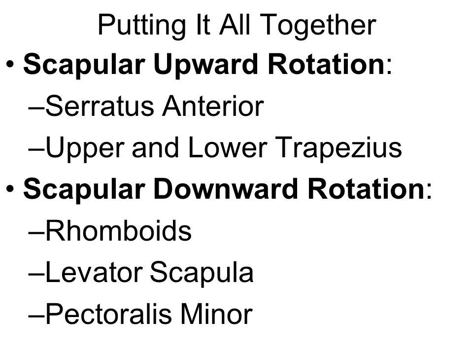 Putting It All Together Scapular Upward Rotation: –Serratus Anterior –Upper and Lower Trapezius Scapular Downward Rotation: –Rhomboids –Levator Scapul