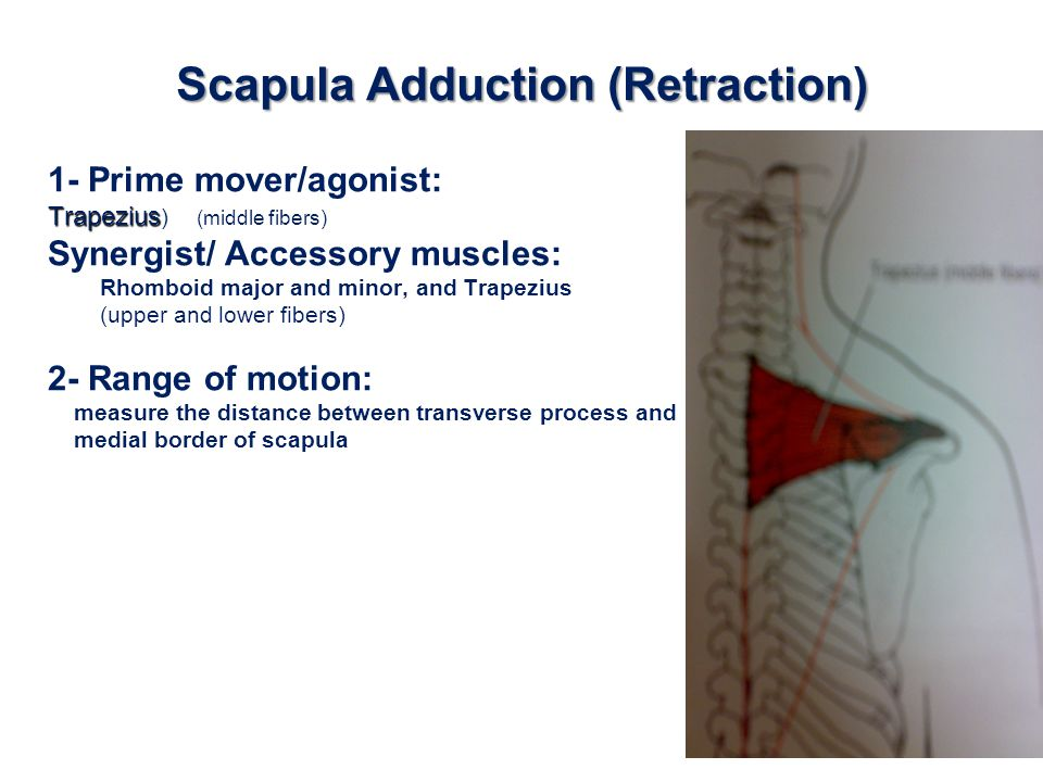 Scapula Adduction (Retraction) 1- Prime mover/agonist: Trapezius Trapezius ) (middle fibers) Synergist/ Accessory muscles: Rhomboid major and minor, a