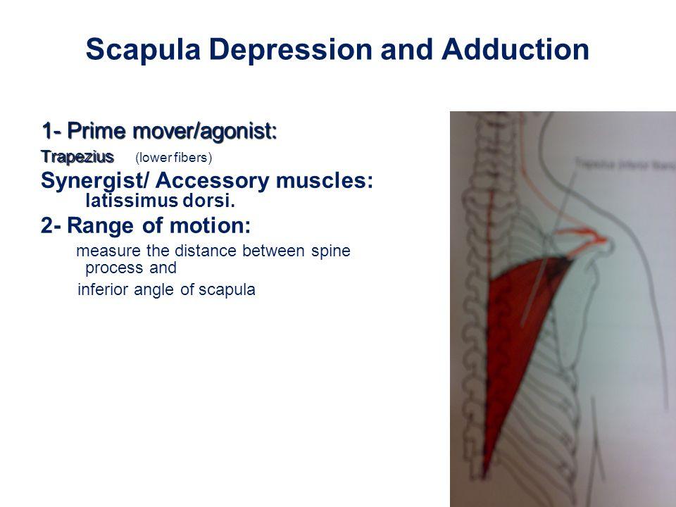 Scapula Depression and Adduction 1- Prime mover/agonist: Trapezius Trapezius (lower fibers) Synergist/ Accessory muscles: latissimus dorsi. 2- Range o