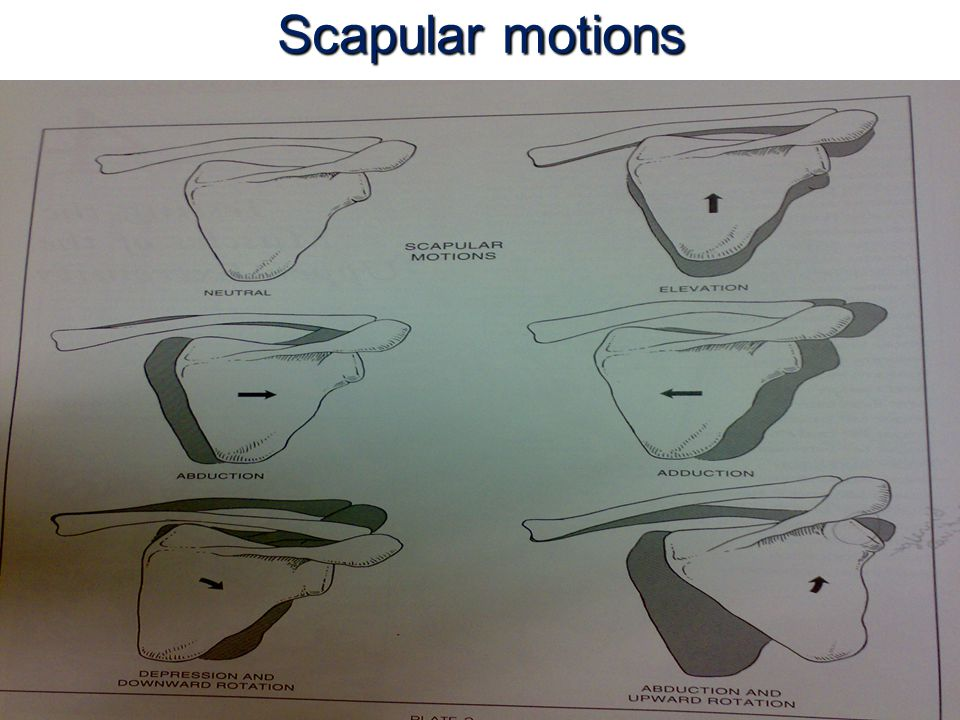 Scapula Depression and Adduction 3- Fixation : a.By contraction pf spinal extensor muscles.