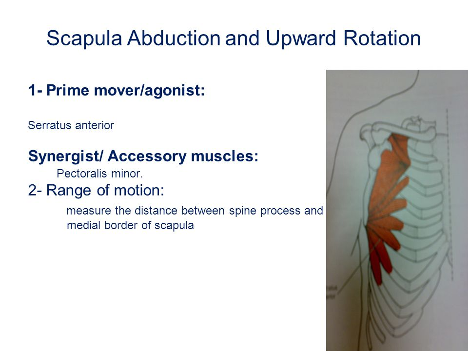 Scapula Abduction and Upward Rotation 1- Prime mover/agonist: Serratus anterior Synergist/ Accessory muscles: Pectoralis minor. 2- Range of motion: me